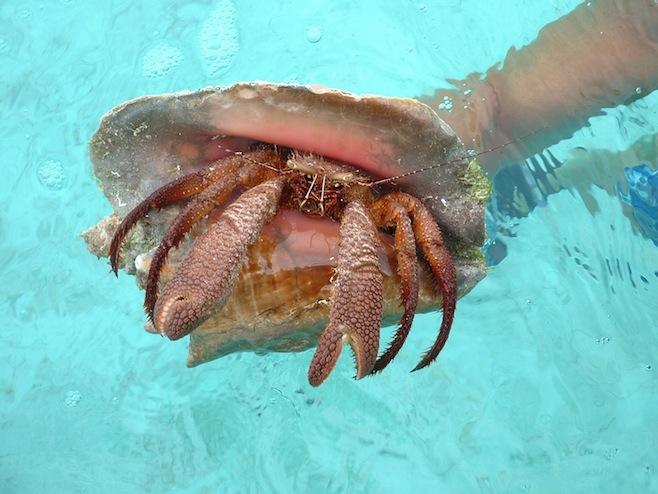Crab in a Conch